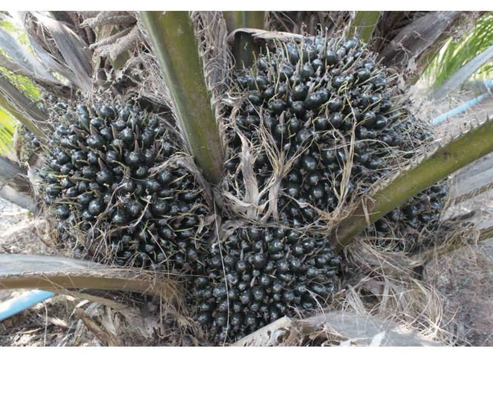 พลิกดินอีสานปลูกปาล์มน้ำมัน ที่หนองบัวลำภู ของเกษตรกรดีเด่นระดับจังหวัด บนพื้นที่กว่า 100 ไร่
